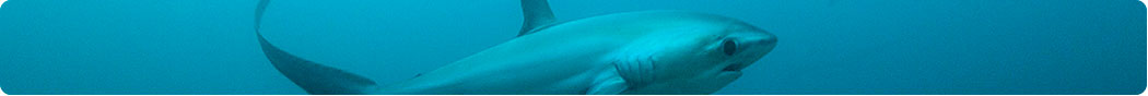 Thresher shark sightings are a common occurance at Monad Shoal in Cebu